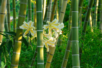 Of bamboo forest gold-banded lily Stock photo [1500640] Yamayuri