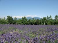 Fields of lavender Stock photo [1503406] Hokkaido