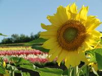 Sunflower Stock photo [1503442] Hokkaido