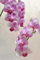 Pink Phalaenopsis Stock photo [1503939] Butterfly