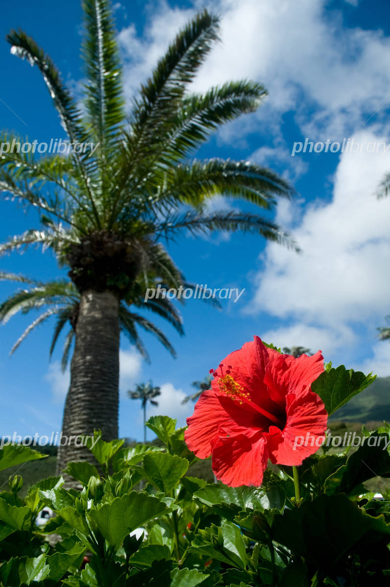 Hibiscus and palm Photo