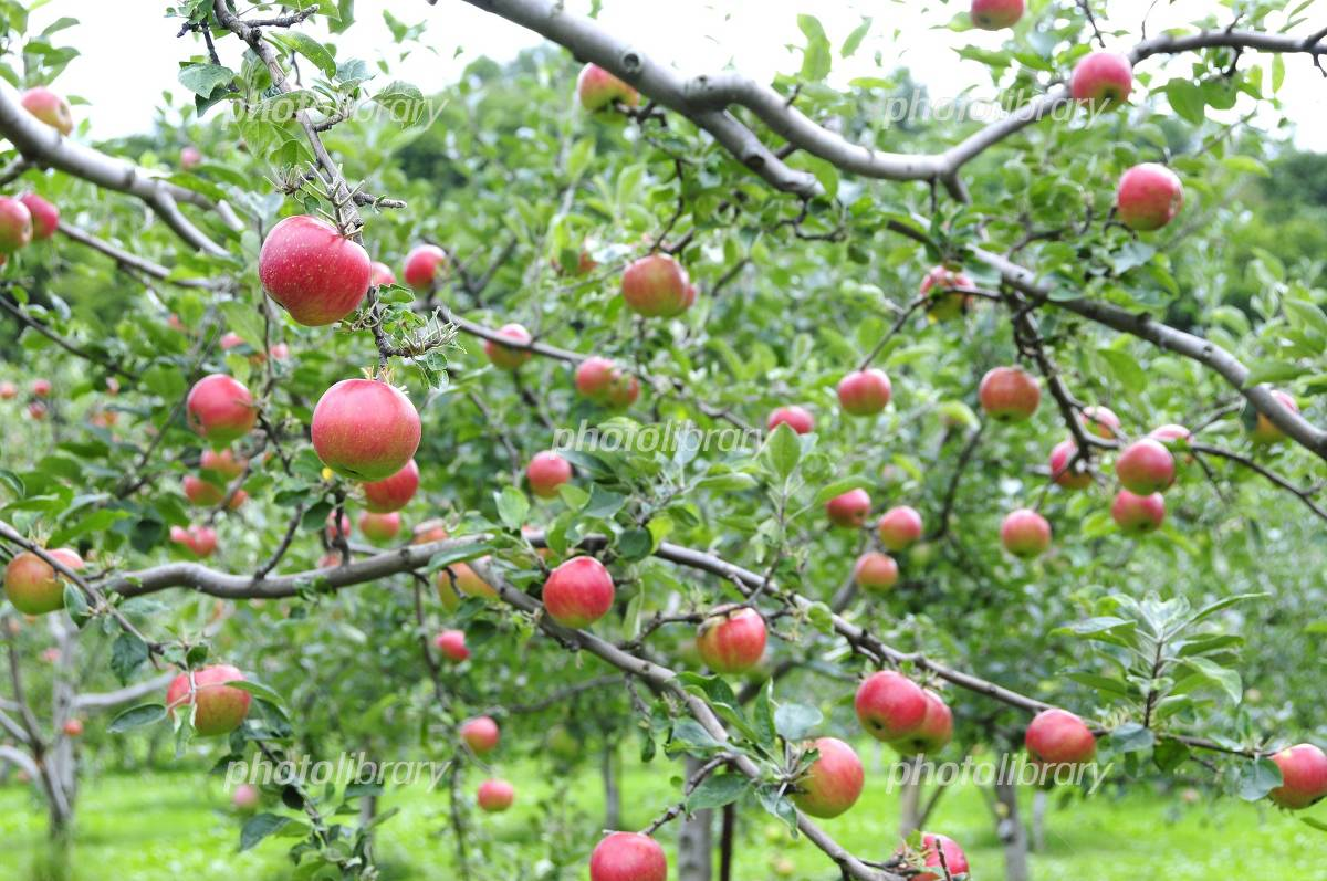実りの秋・リンゴ園 写真素材 [ ...
