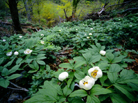Paeonia japonica group Stock photo [1600888] Virgin