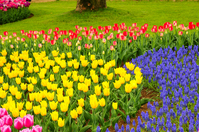 Tulip flower bed Stock photo [1601065] Spring