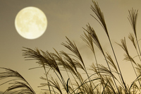 Japanese pampas grass and full moon Stock photo [1602648] Full