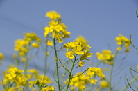 Rape flowers and a blue sky Stock photo [1602918] Rape