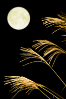 Japanese pampas grass and full moon Stock photo [1603331] Full