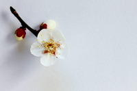 One wheel of the white plum Stock photo [1603431] One