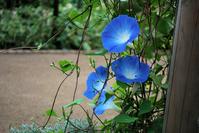 Morning glory Stock photo [1606381] Plant