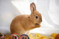 Coma and rabbit autumn Rabbit