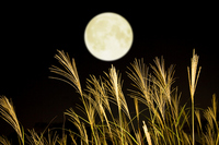Japanese pampas grass and full moon Stock photo [1606974] Full