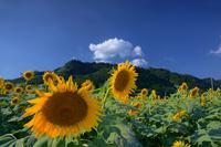 Sunflower blue sky Stock photo [1607079] Sunflower
