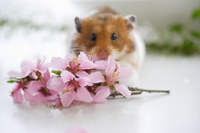 Hamster and flower Stock photo [1608058] Animal