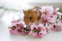 Hamster and flower Stock photo [1608061] Animal