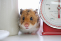 Hamster kitchen Stock photo [1608066] Animal
