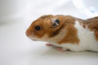 Hamster Stock photo [1608074] Animal