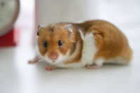 Hamster Stock photo [1608080] Animal