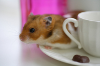 Hamster Stock photo [1608082] Animal