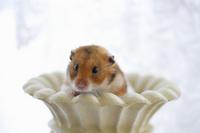 Hamster Stock photo [1608095] Animal