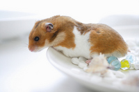 Summer of hamster Stock photo [1608213] Animal