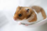 Hamster Stock photo [1608219] Animal
