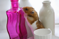 Hamster Stock photo [1608220] Animal