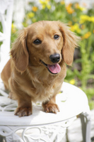 Miniature Dachshund Stock photo [1608356] Dog