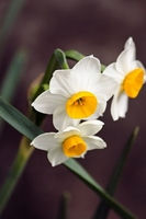 Japan narcissus Stock photo [1699334] Narcissus