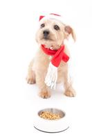 Norfolk Terrier to wait for the bait Stock photo [1699979] Norfolk