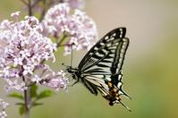 Swallowtail Stock photo [1706533] Swallowtail