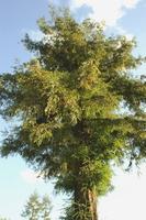 Sequoia sempervirens Stock photo [1707525] Taxodiaceae