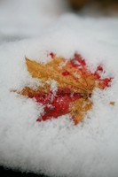 Fallen leaves and snow Stock photo [1708357] Snow