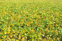 Autumn of soybean fields that colored Stock photo [1710097] Glycine