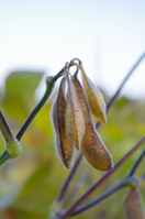 Harvest close of soybean Stock photo [1711856] Glycine