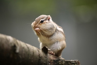 Squirrel Stock photo [1783063] Chipmunk