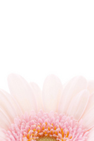 Gerbera Stock photo [1784878] Gerbera