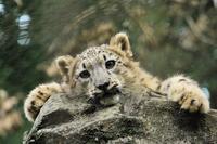 Children of snow leopard Leopard