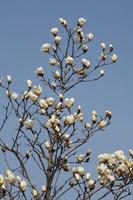 Magnolia and blue sky Stock photo [1881803] Magnolia
