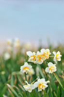 Tsumekizaki of daffodils Stock photo [1883788] Narcissus