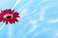 Red gerbera flowers floating on water Stock photo [1886172] Flower