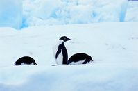 Iceberg of Adelie penguin Antarctic Stock photo [1891738] Creatures
