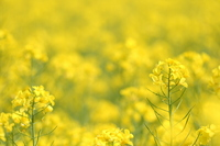 Rape blossoms Stock photo [1989250] Rape