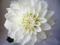 White dahlia Stock photo [1992155] Dahlia