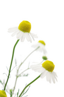 Chamomile Stock photo [1992540] German