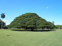 Aka Hitachi trees Stock photo [1994485] Hawaii