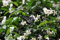 Swallowtail butterfly to 吸蜜 in Teikakazura flowers Stock photo [1997544] Swallowtail