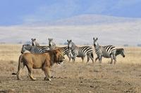 Lion and zebra Stock photo [2000395] Zebra