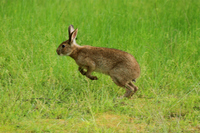 Hare Stock photo [2000676] Wild
