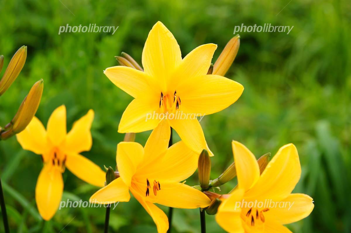 Hemerocallis middendorffii. Photo