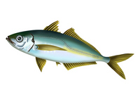 Jack mackerel stock photo